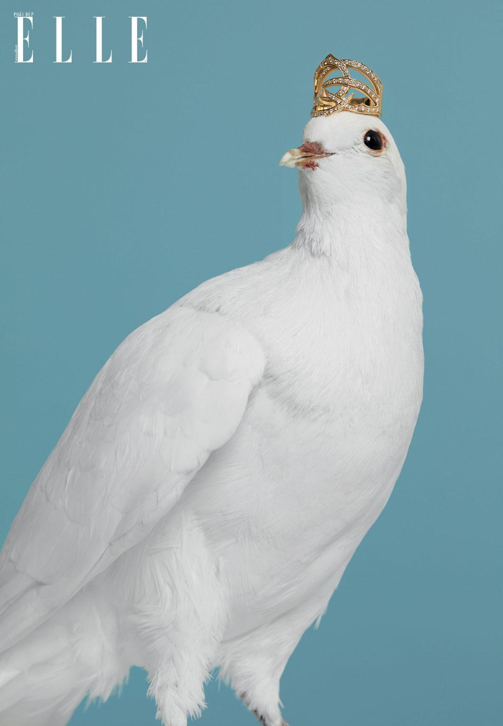 chim bồ câu đội vương miện