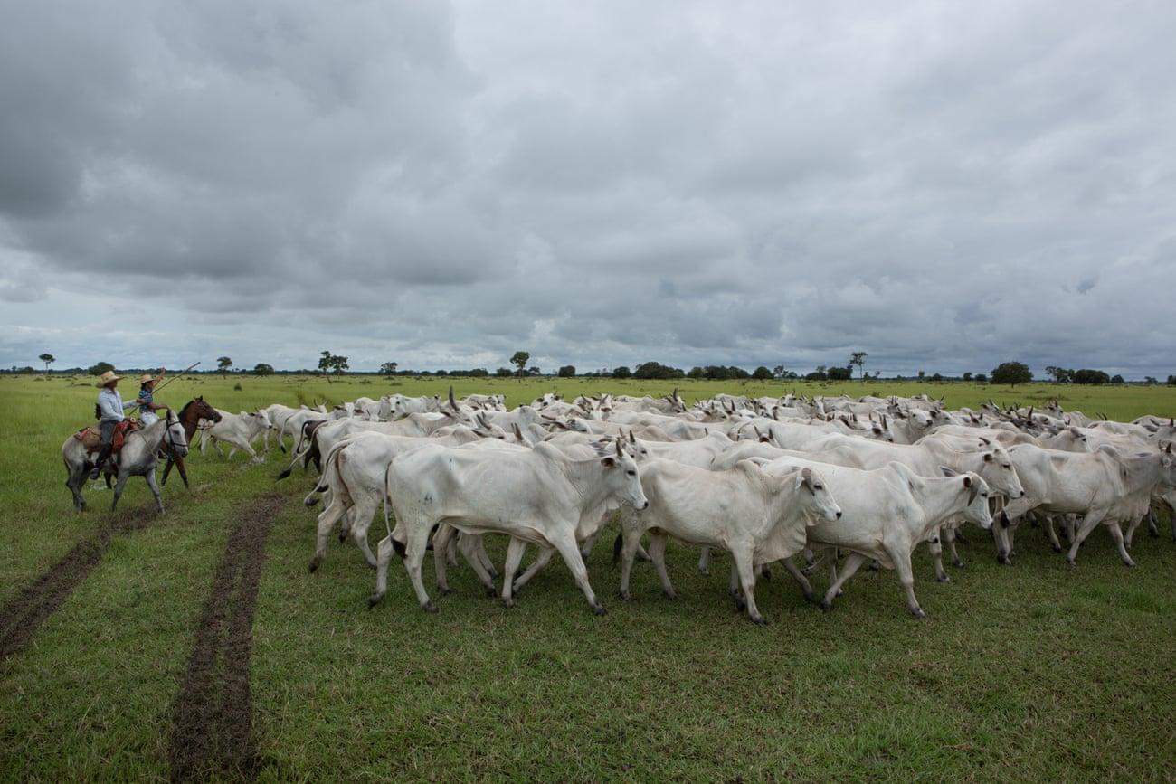chăn nuôi bò ở Brazil