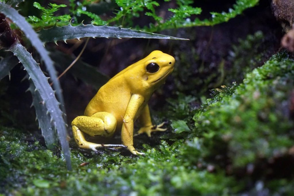 ếch độc màu vàng
