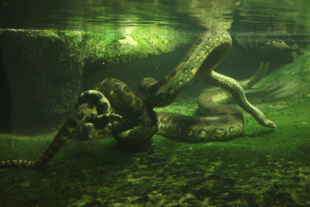 trăn anaconda ở dưới nước