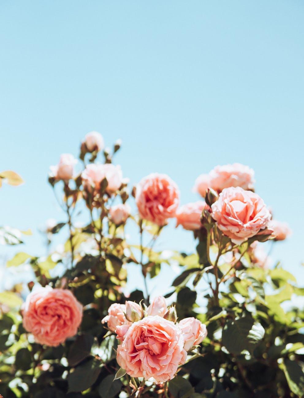 thành phần nước hoa - hồng Bulgaria