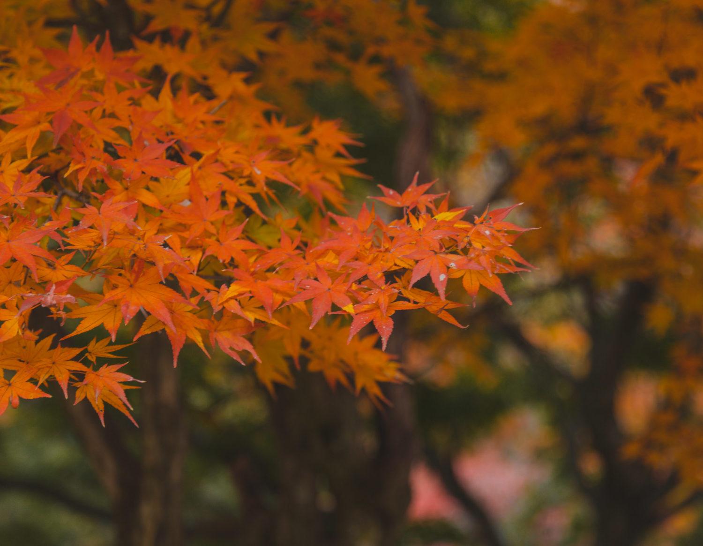 lá phong mùa thu hàn quốc