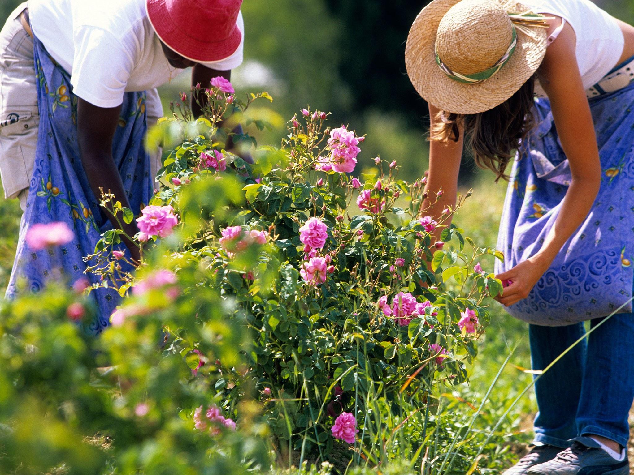 nước hoa vườn hoa hồng Grasse 2