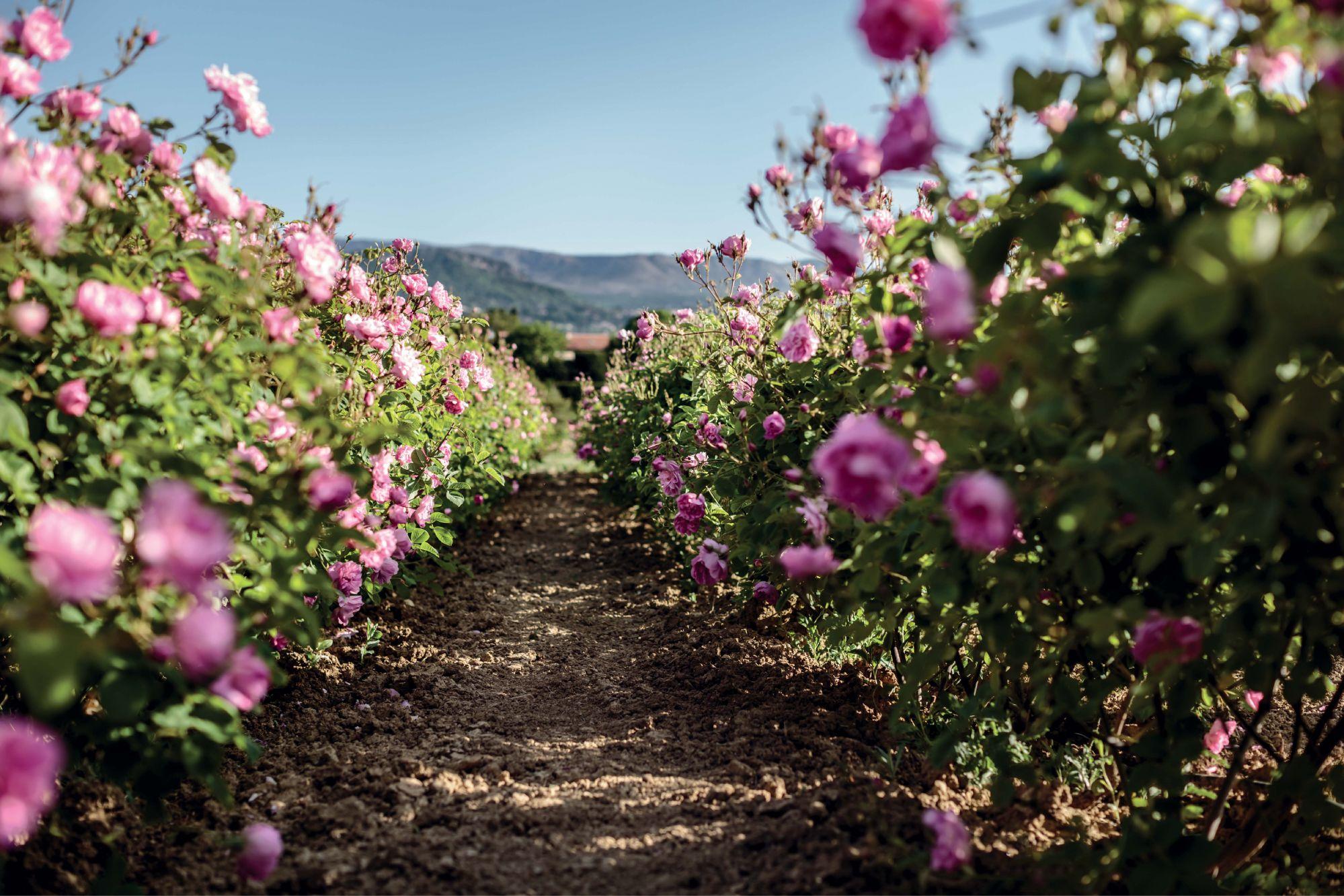 nước hoa vườn hoa hồng Grasse