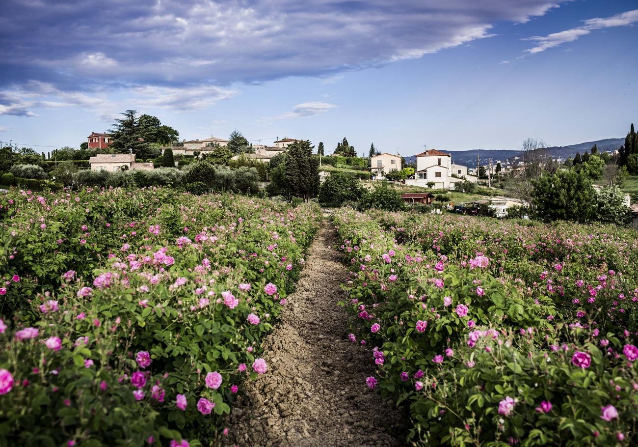 nước hoa vườn hoa hồng Grasse lâu đài Dior