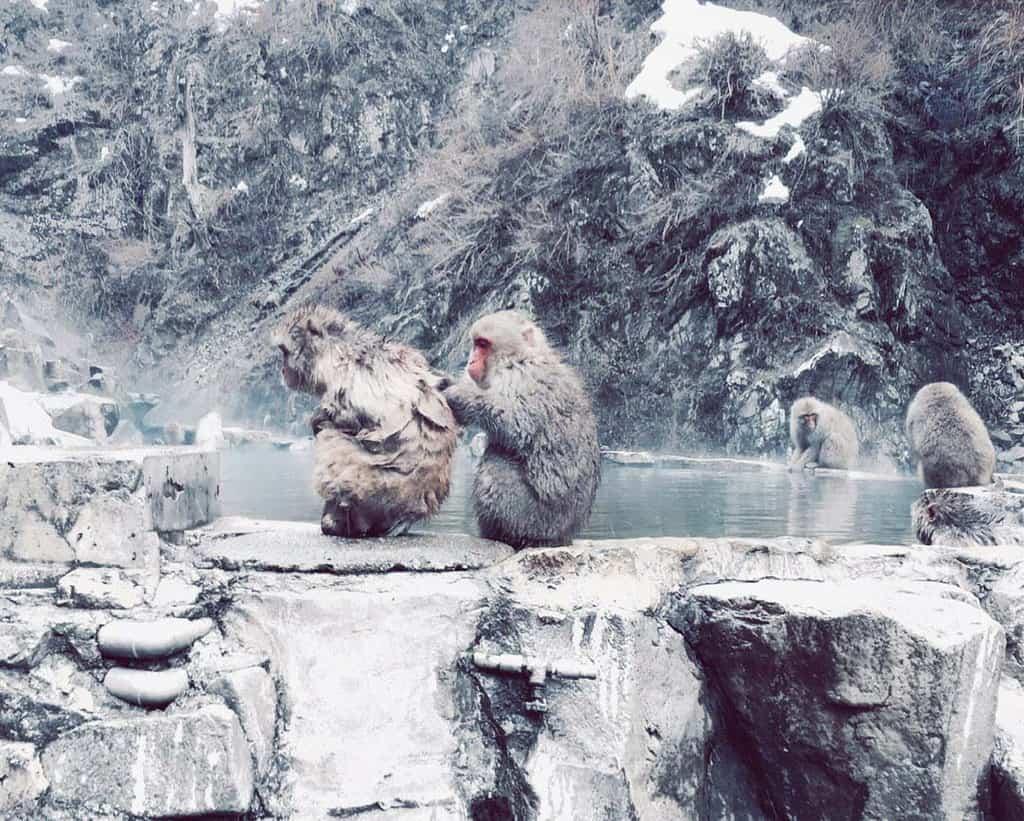khỉ đầu đỏ nhật bản