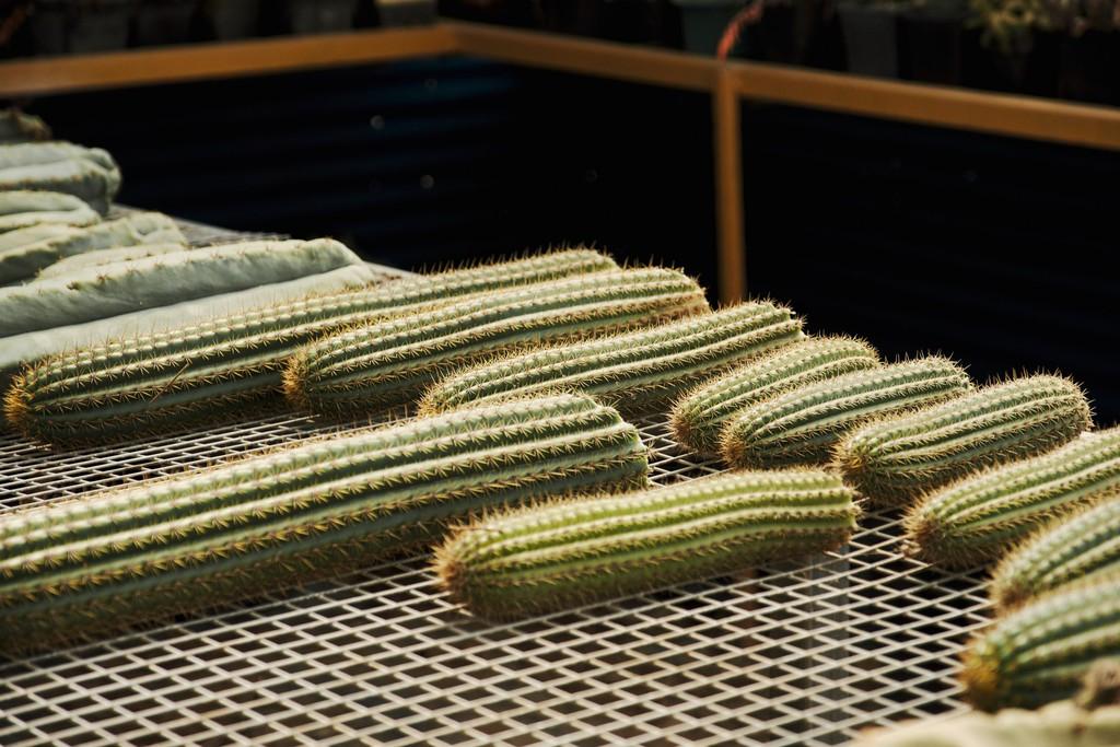 những được mẫu xương rồng được lai tạo