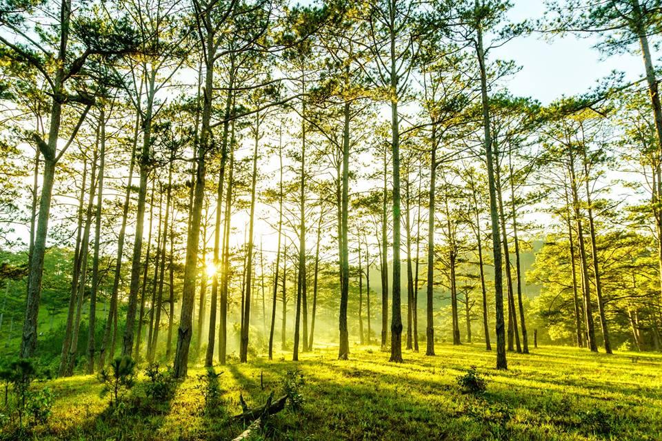 rừng thông chư yang sin
