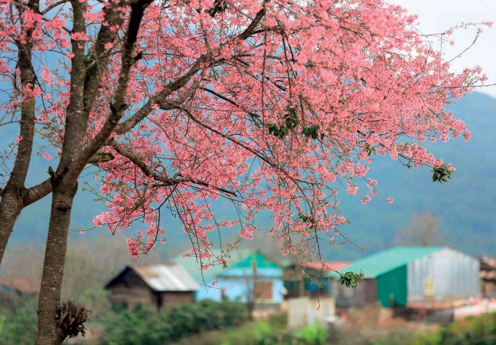 địa điểm ngắm hoa đào tại Đà Lạt