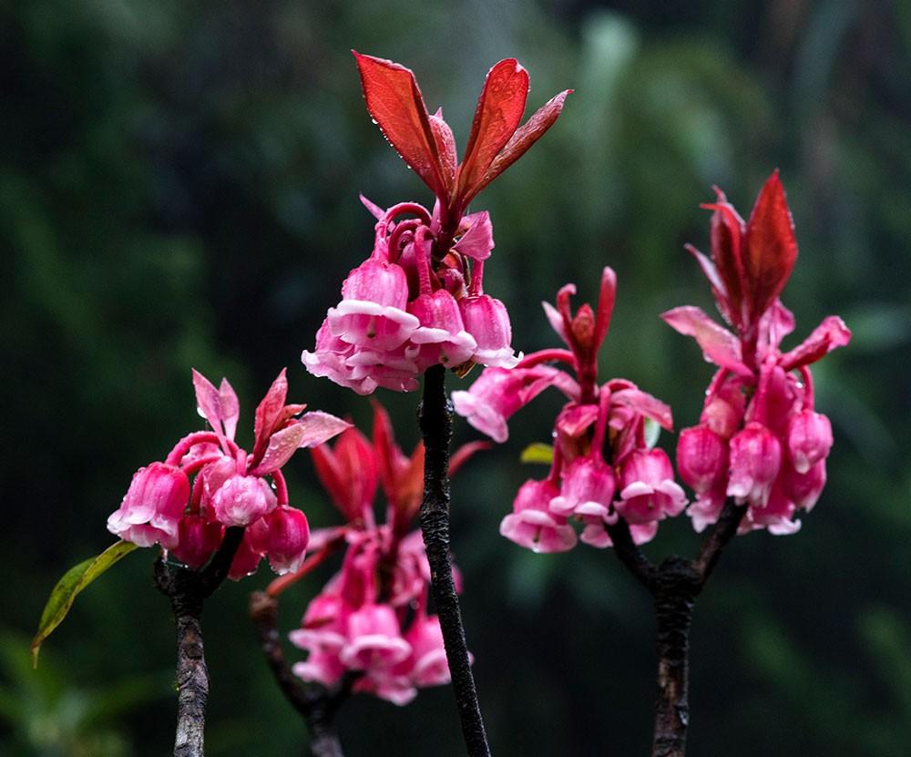 hoa mùa xuân đào chuông