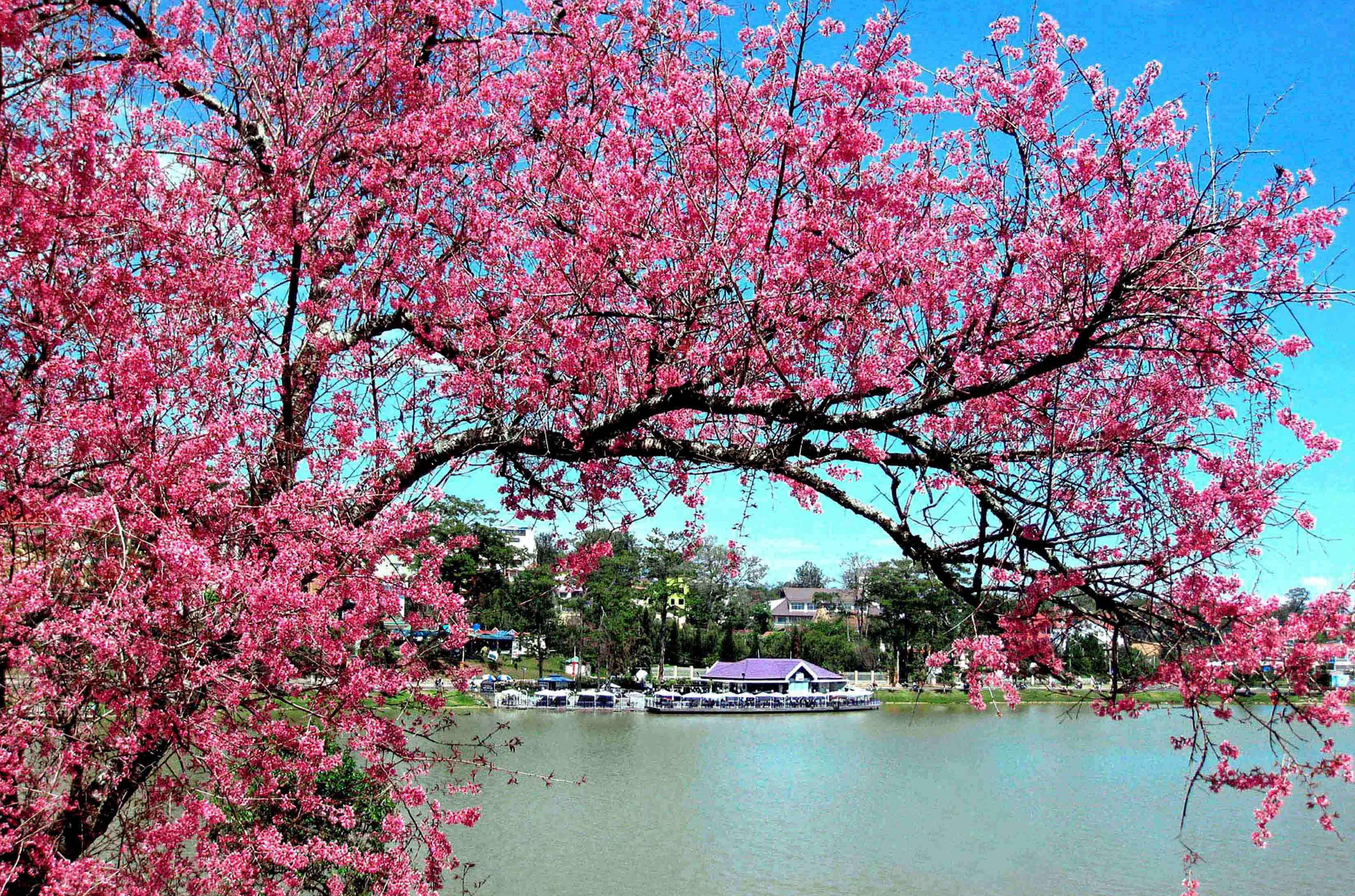 hoa mùa xuân mai anh đào hồ tuyền lâm