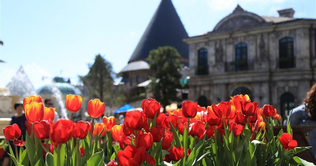 hoa tulip ba na hill