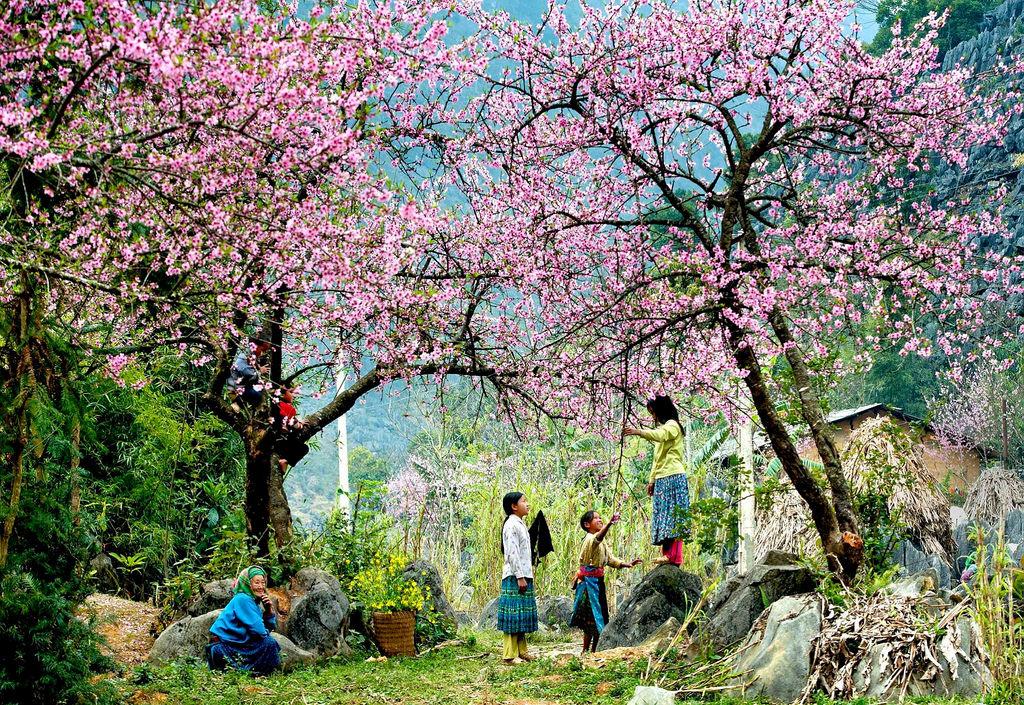 mùa hoa anh đào mộc châu