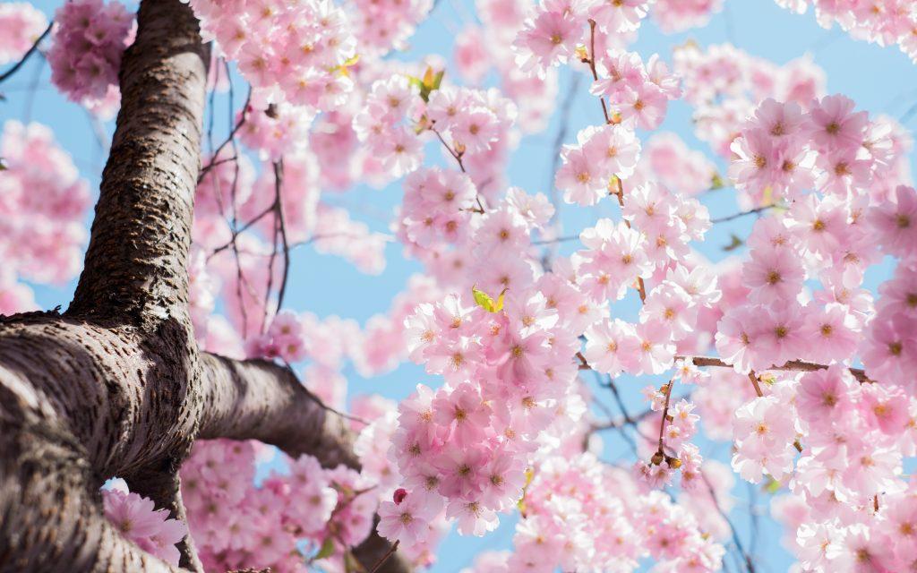 lạc quan hoa anh đào nở rộ