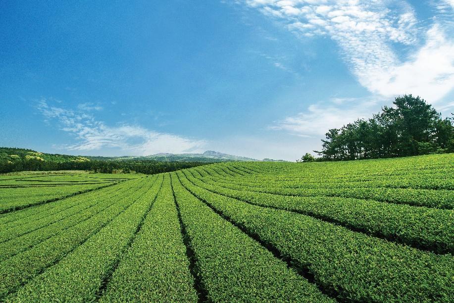 innisfree trà xanh đảo jeju