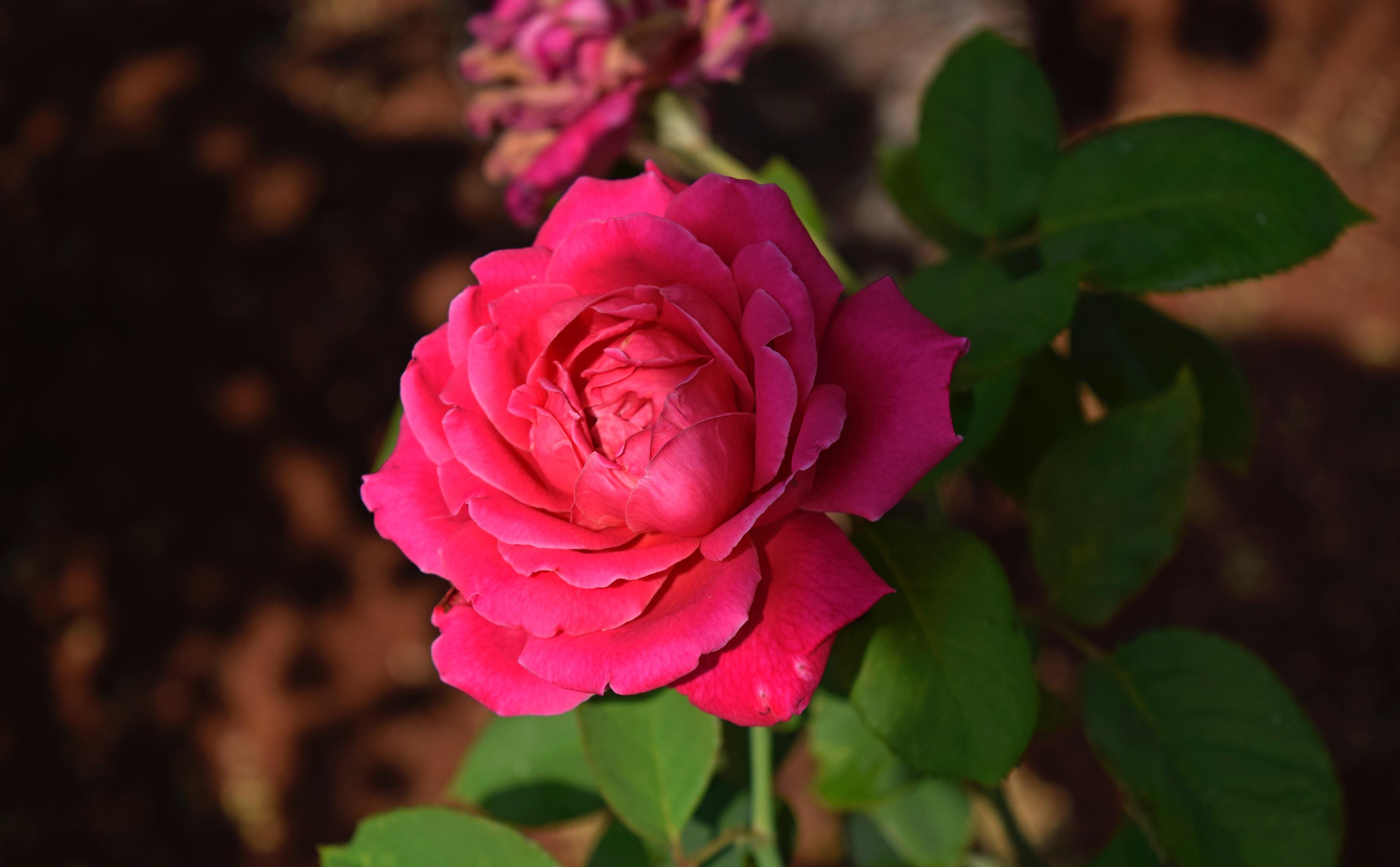 ý nghĩa của hoa hồng đậm