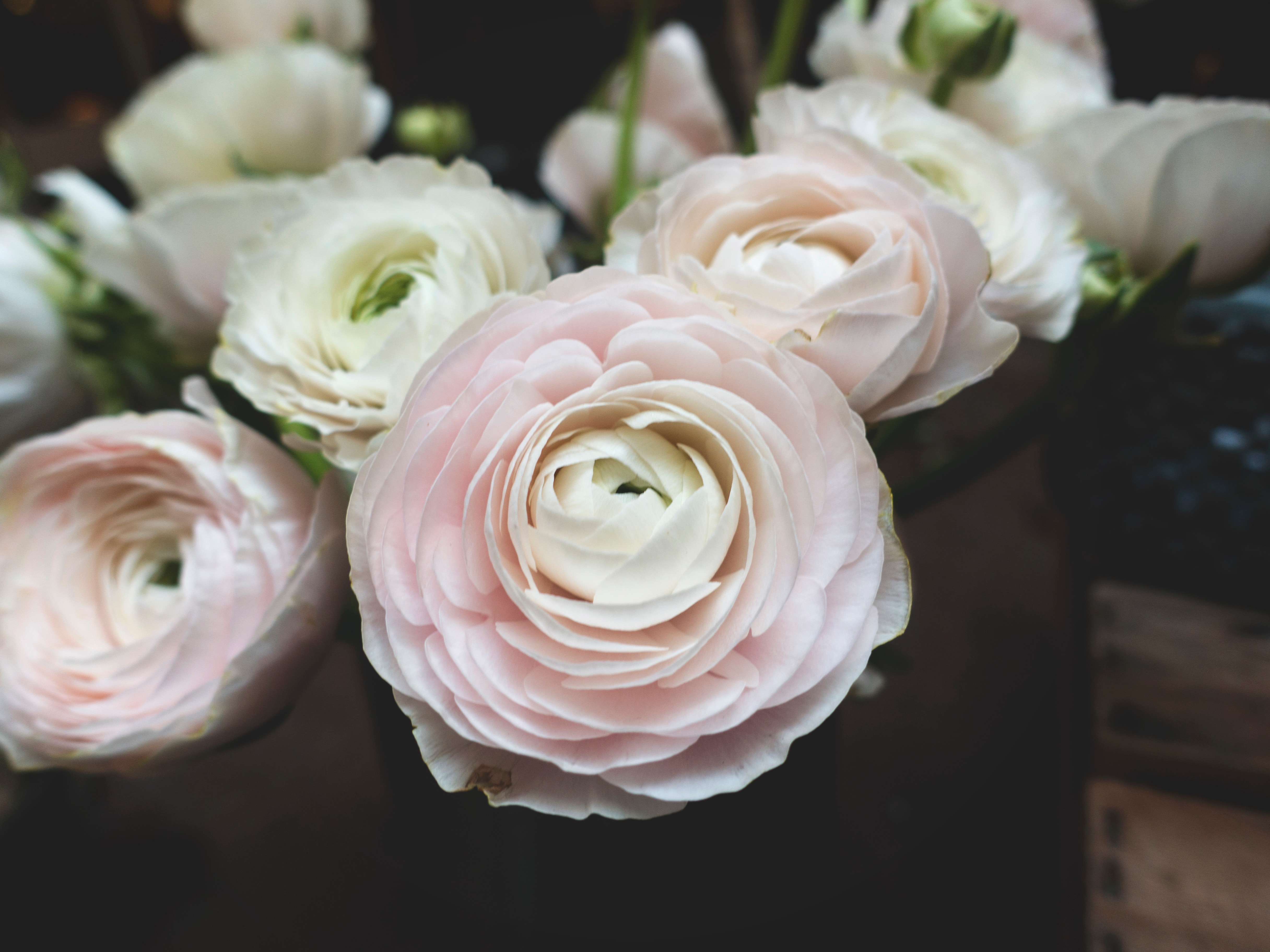 ý nghĩa của hoa hồng kem