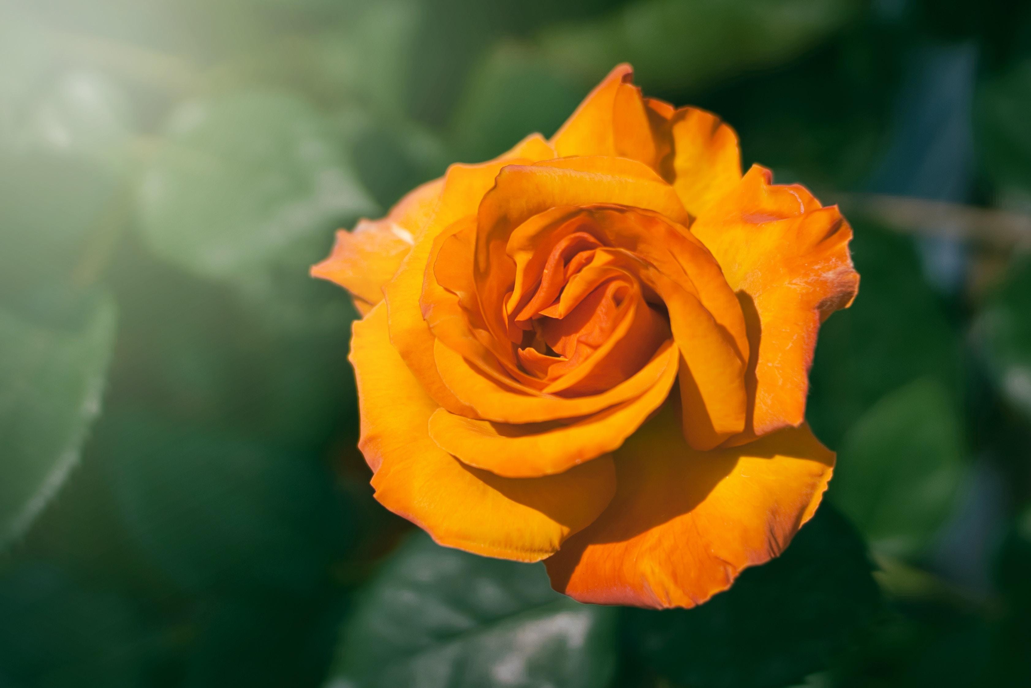 ý nghĩa của hoa hồng vàng