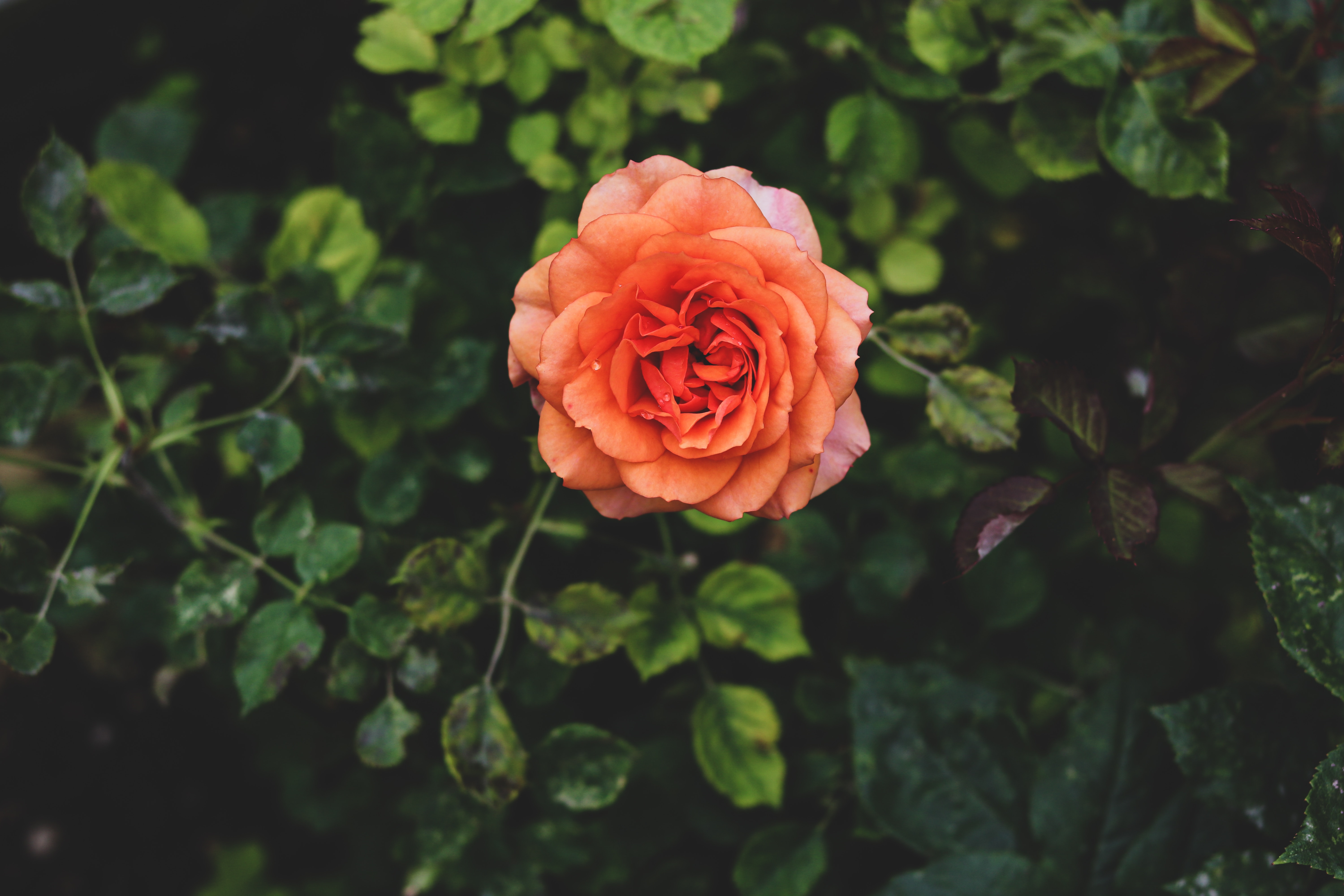 ý nghĩa của màu hồng cam