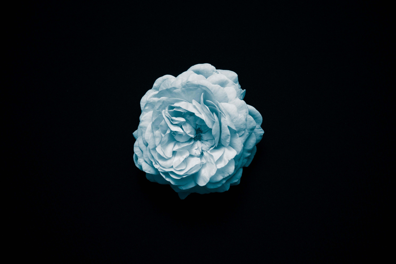 ý nghĩa hoa hồng màu xanh dương