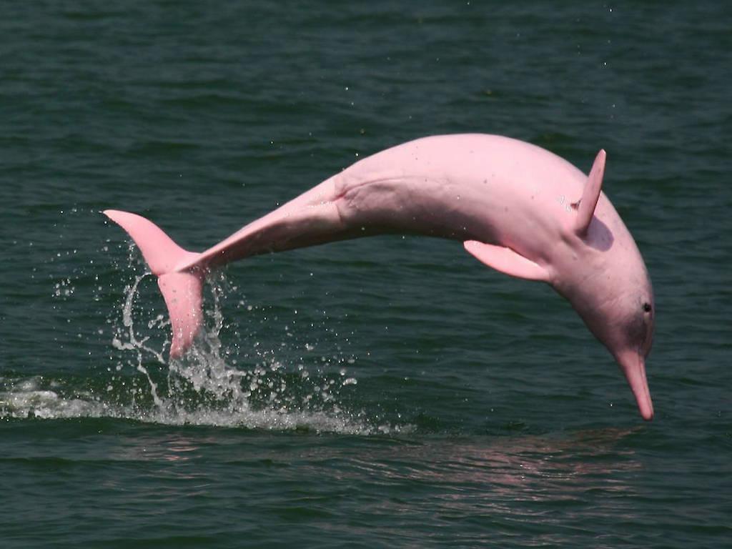 cá heo hồng du lịch Hồng Kông