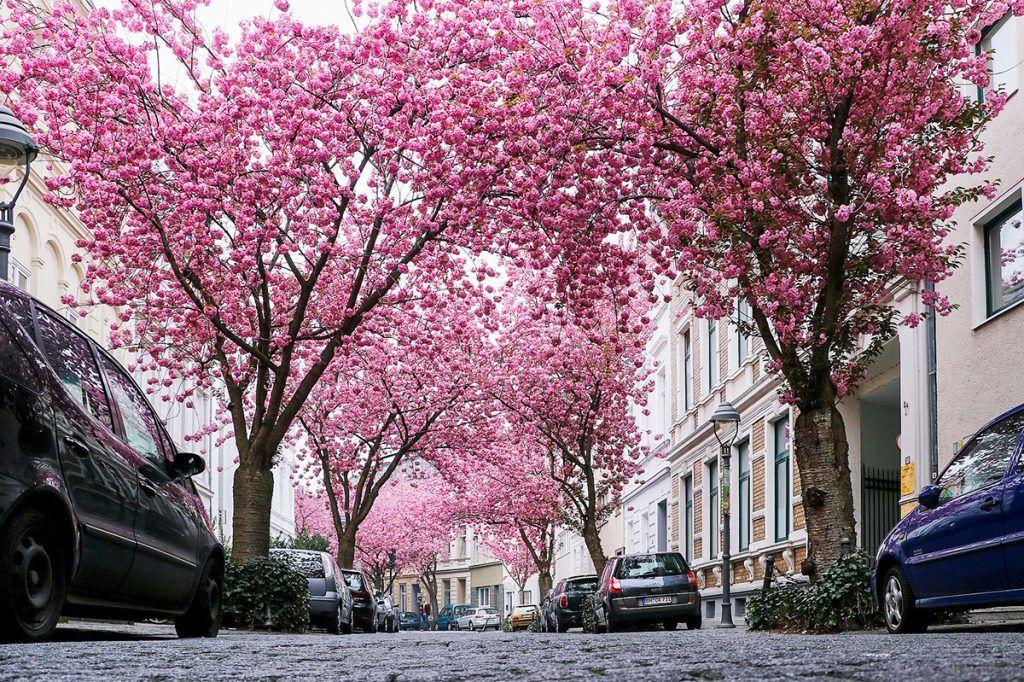 con đường hoa đào rực rỡ ở bonn