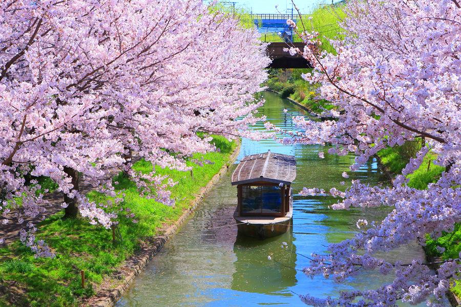 con đường hoa anh đào kyoto