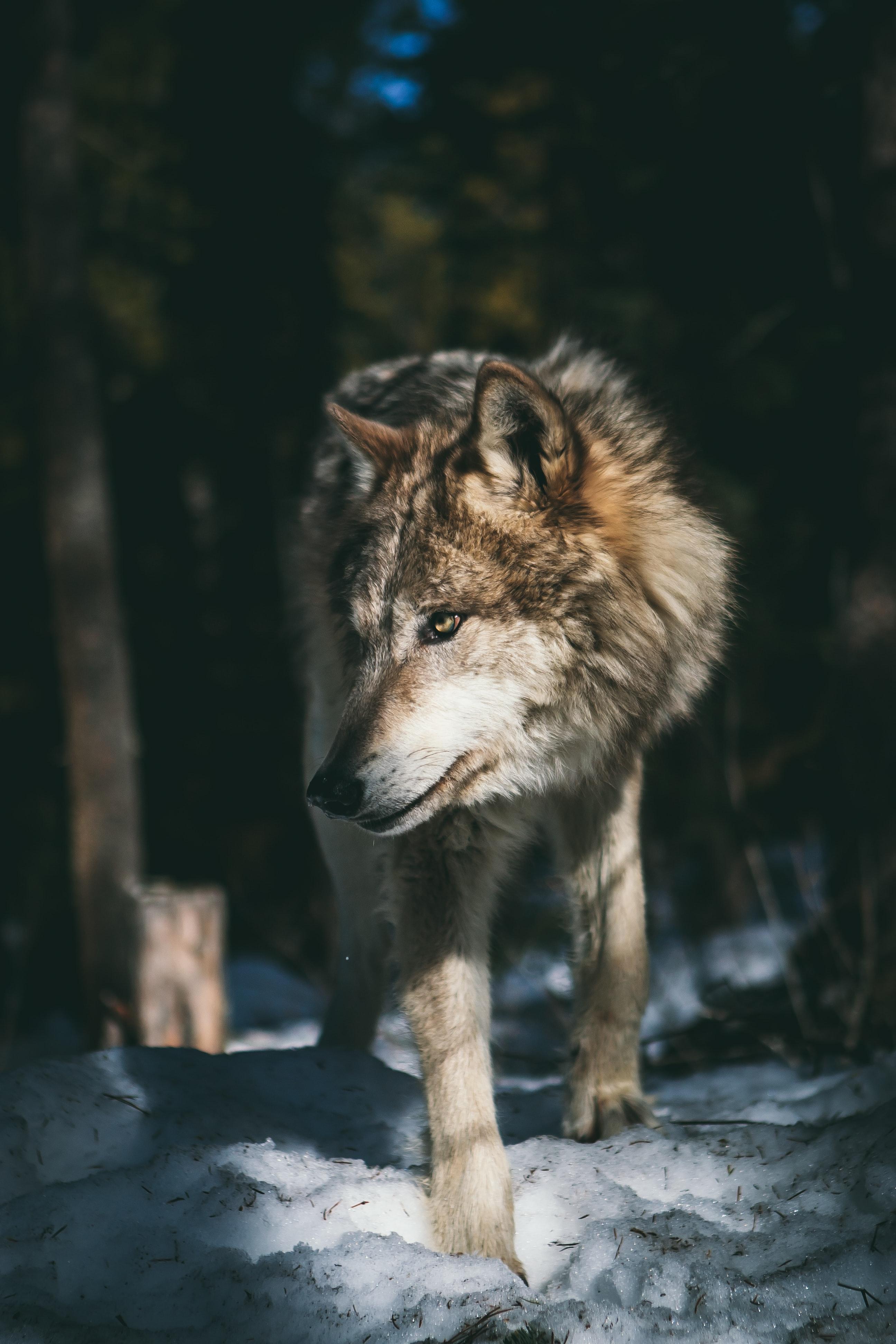 trắc nghiệm qua hình ảnh con sói