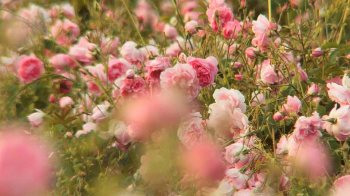 cánh đồng hoa hồng ở grasse của chanel