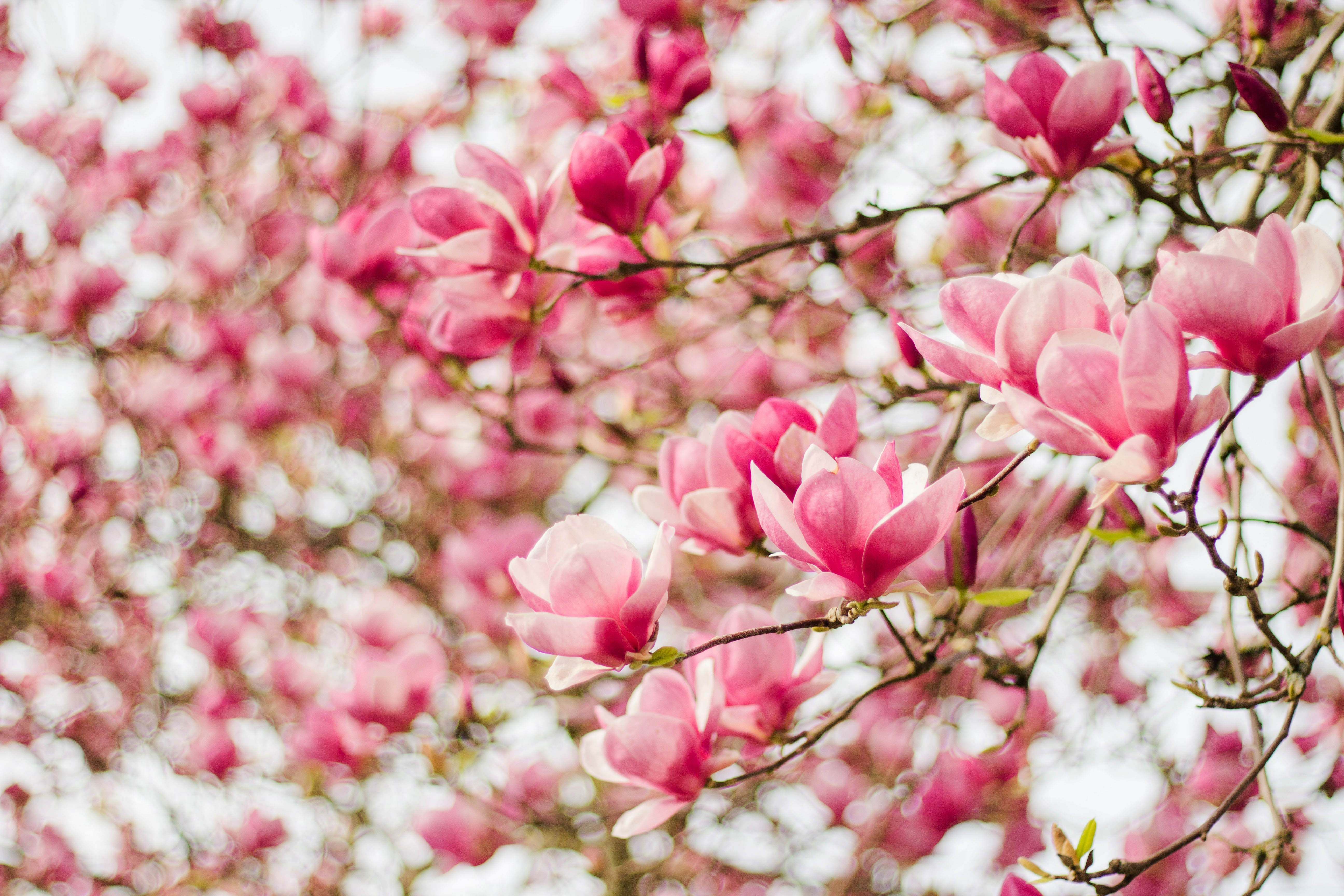 trắc nghiệm loài hoa hoa mộc lan