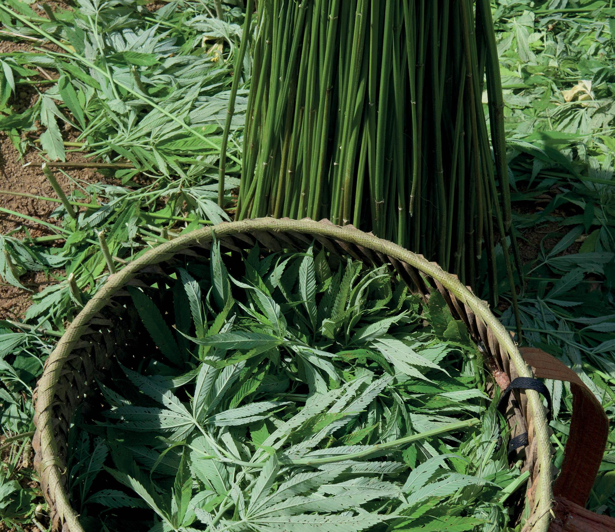 thủ công cây lanh vừa thu hoạch