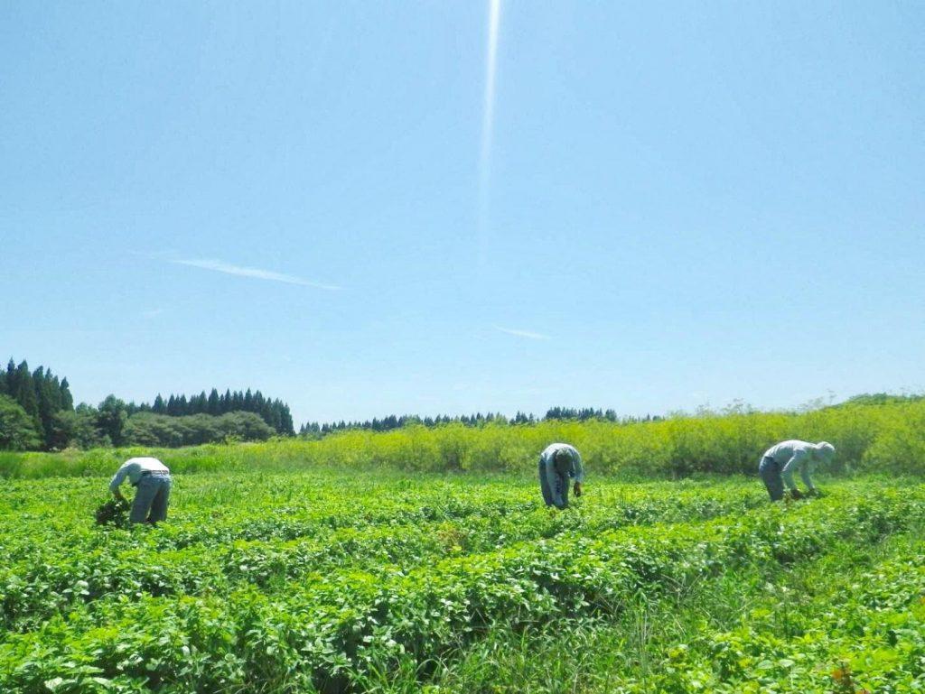 Albion-Cánh đồng xanh.