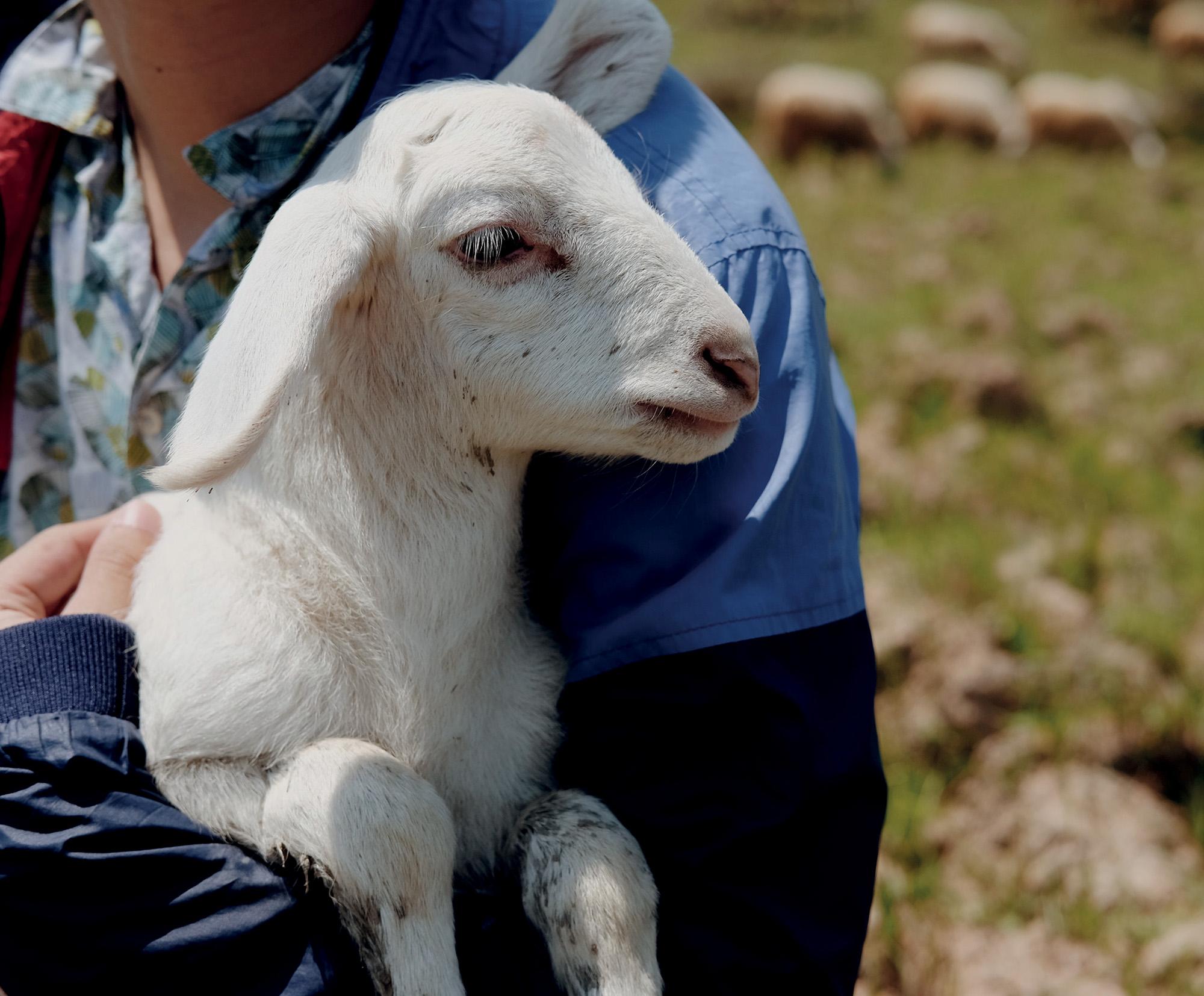Ninh Thuận chú cừu con