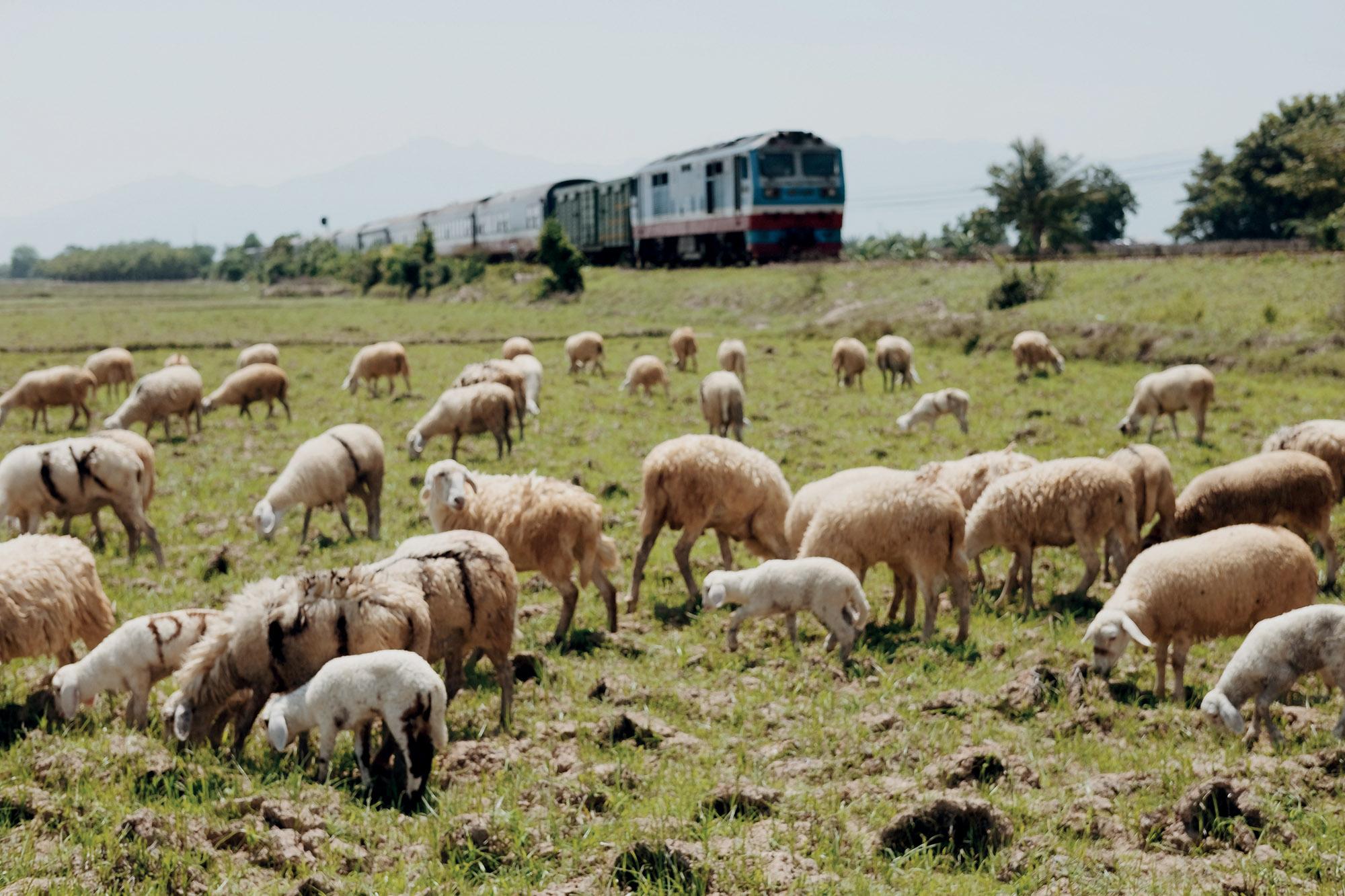 Ninh Thuận đàn cừu trắng