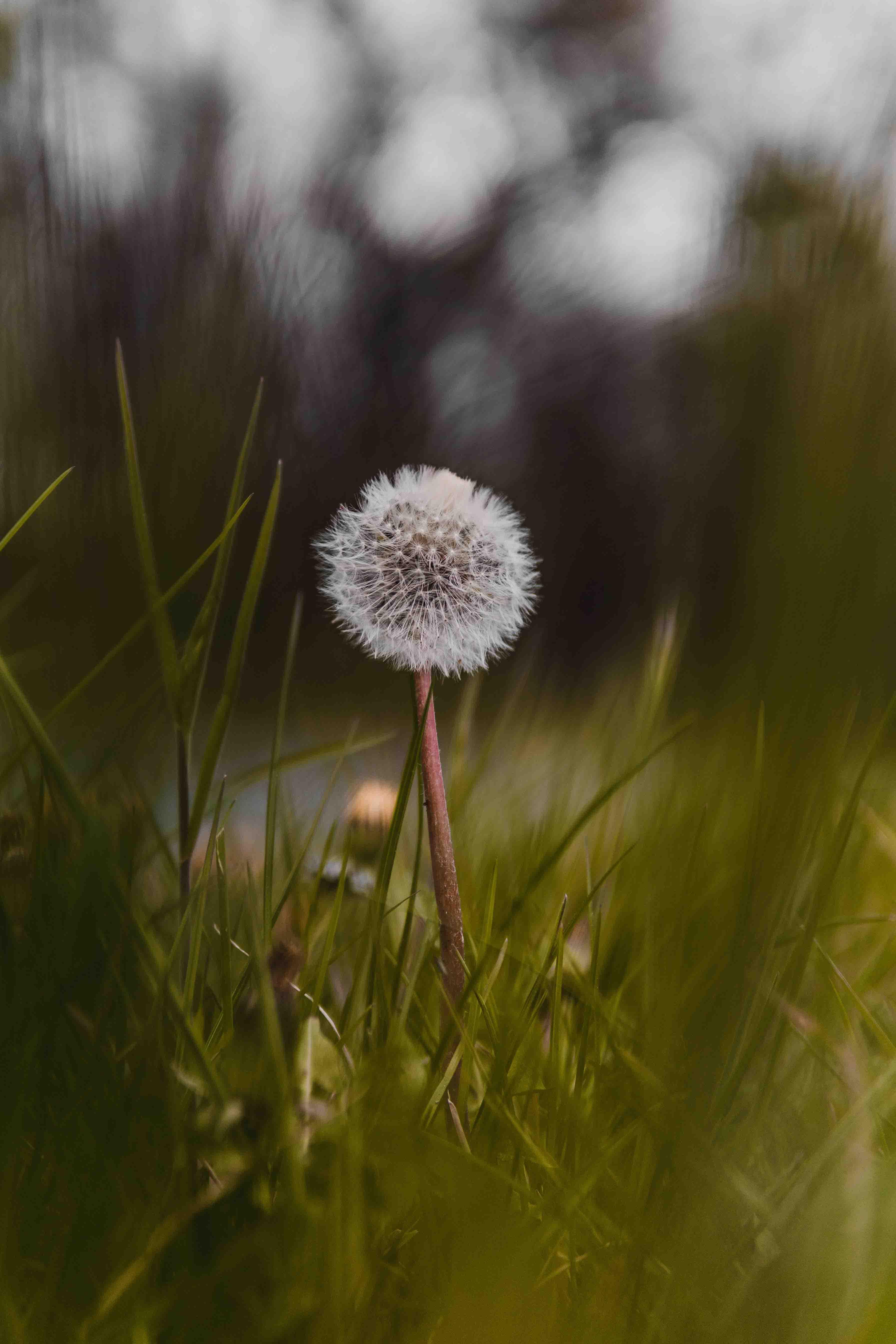 hoa bồ công anh giữa cánh đồng