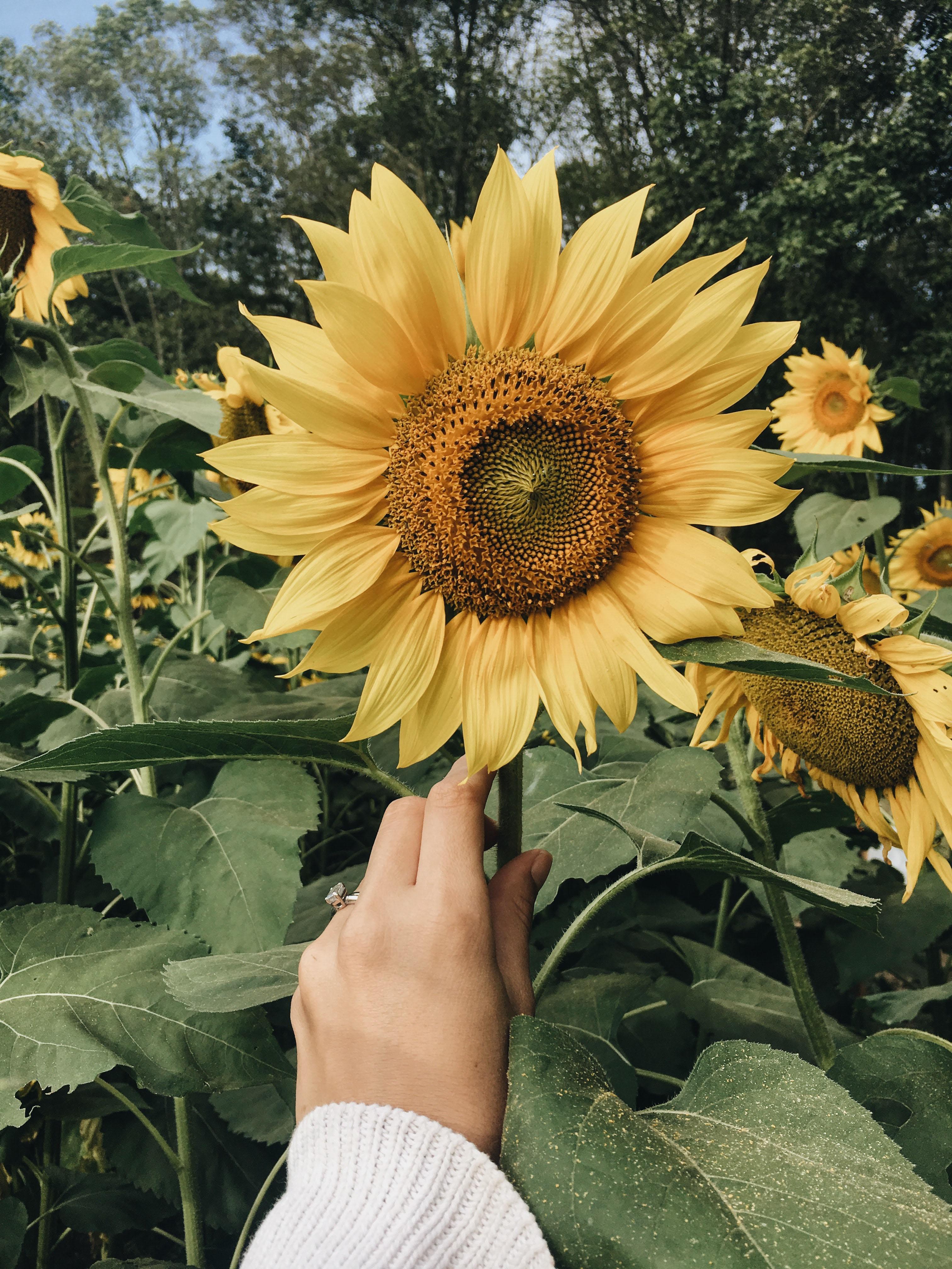 hạnh phúc hoa hướng dương