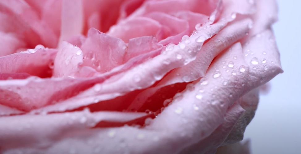 Hoa hồng Hokkaido-1