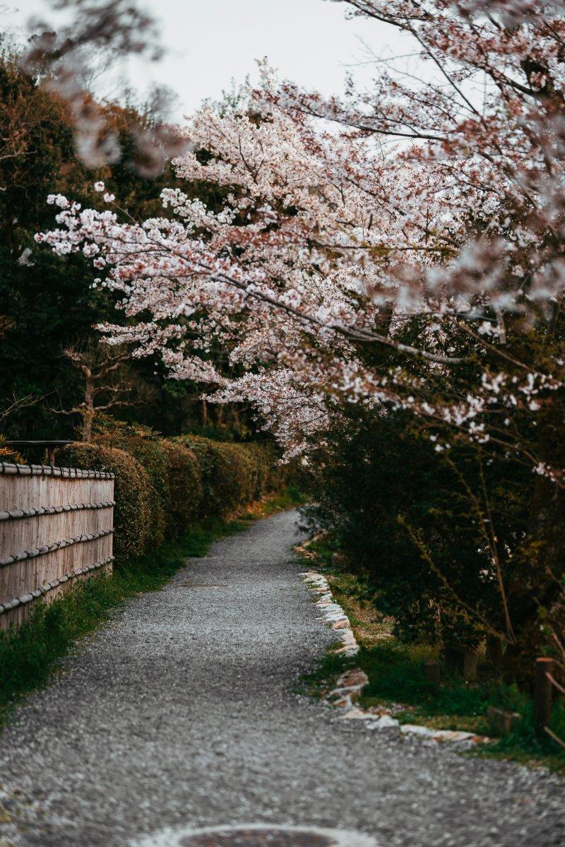 con đường hoa anh đào