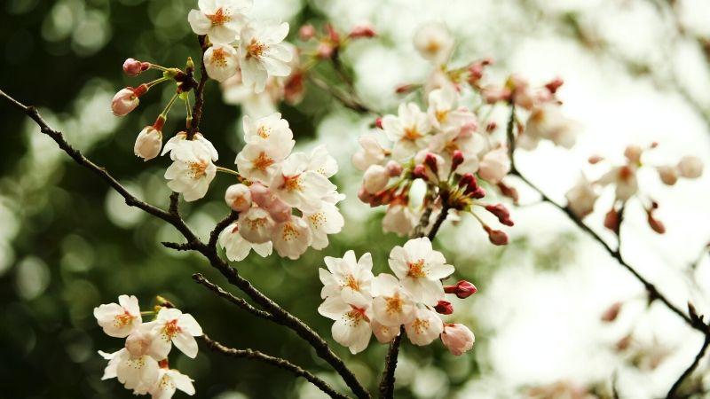 vô thường hoa anh đào trắng