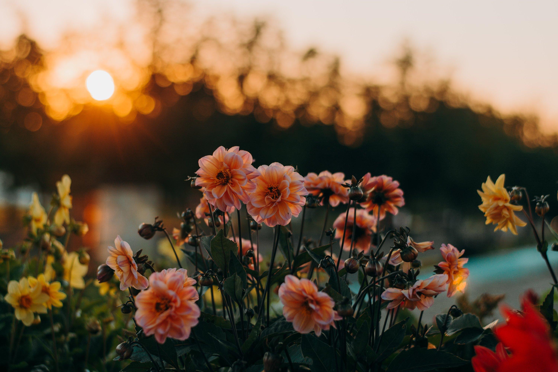 cung hoàng đạo bông hoa chiều tà