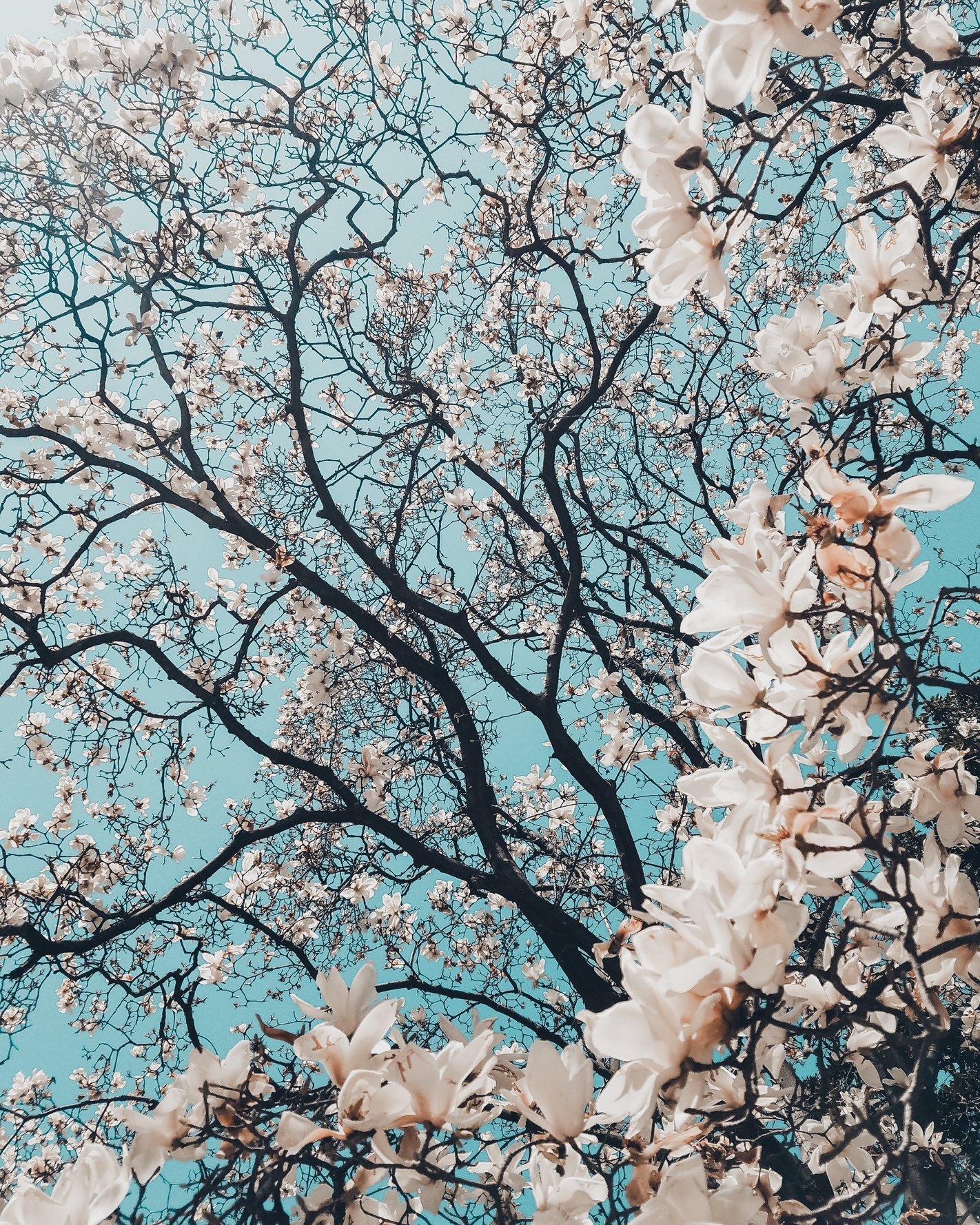 hoa anh đào dưới góc nhìn của người thông minh và nhạy cảm