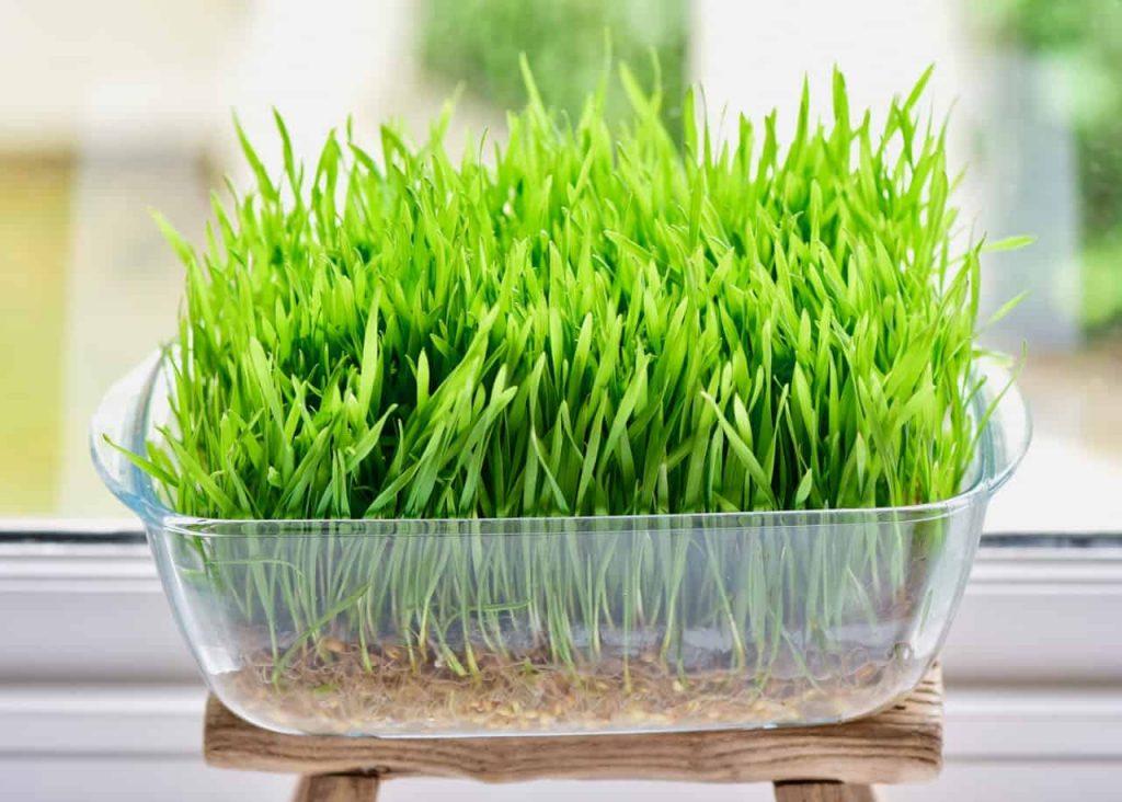 cỏ mì giảm cân