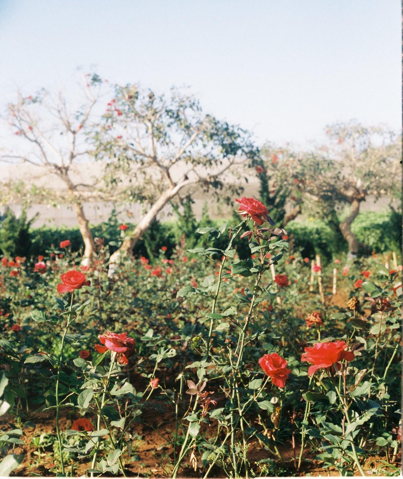 bông hoa hồng nở pleiku