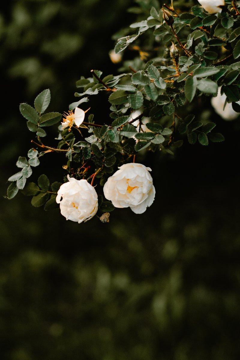 cung hoàng đạo hoa hồng trắng
