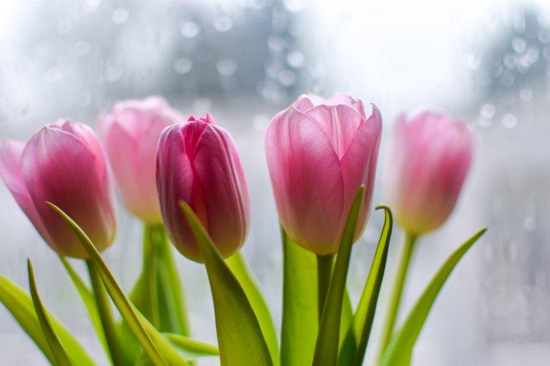 cung hoàng đạo - tulip