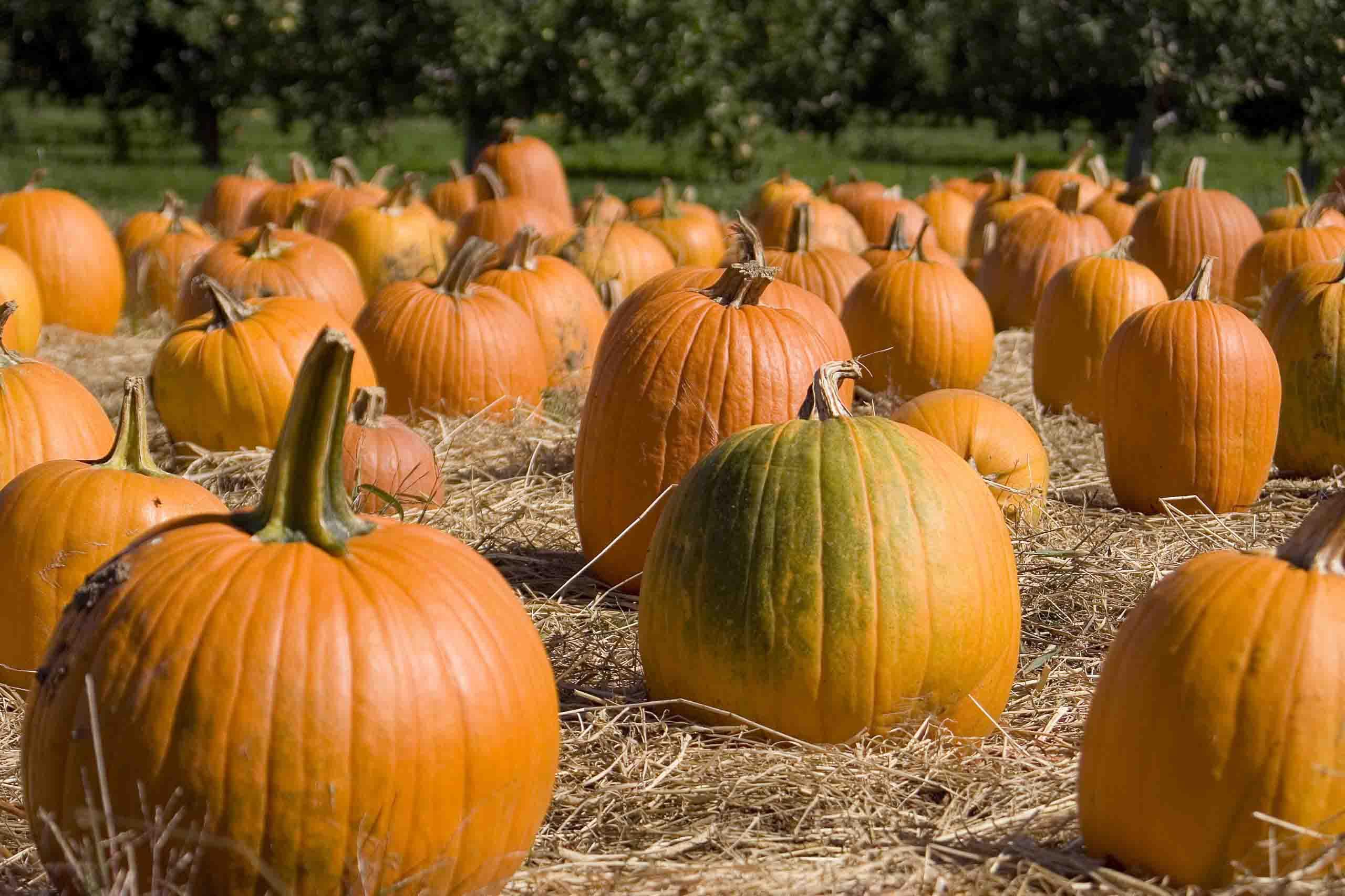 bí ngô mùa thu