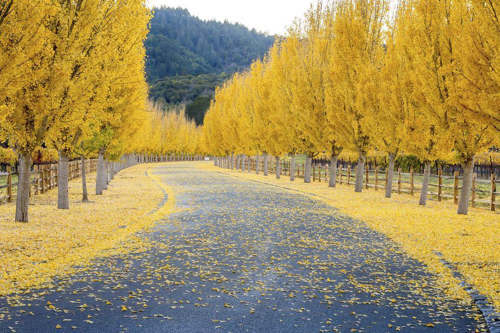 mùa thu cây bạch quả