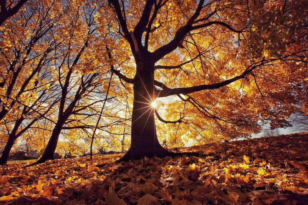 mùa thu cây phong