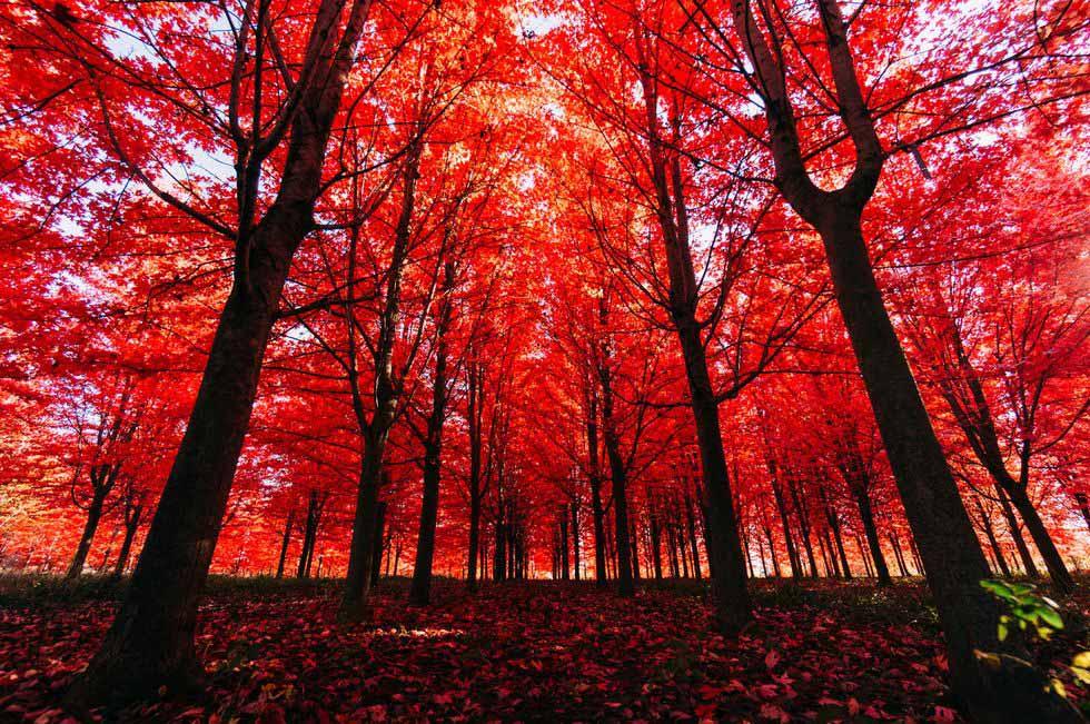 mùa thu lá đỏ