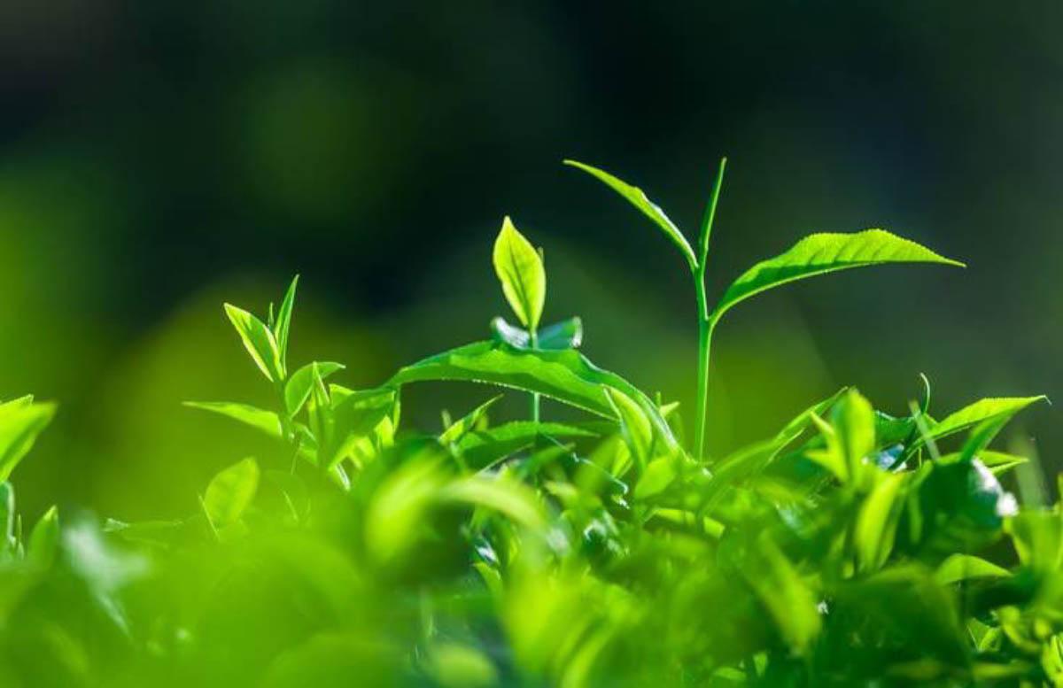 Bí quyết giúp da sạch thoáng, sáng khoẻ từ lá chè.